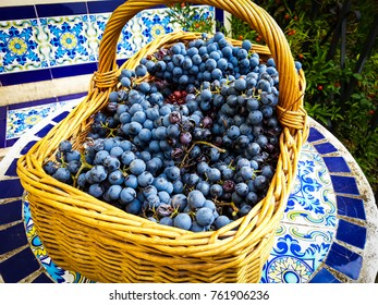 Black grape bunches of Grenache variety picked in wicker basket