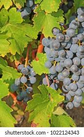 Black grape close up in Slovenian vineyard