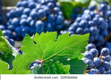 Black grape and leaf
