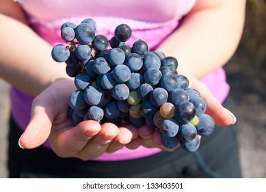 Black grapes in hands during autumn harvest