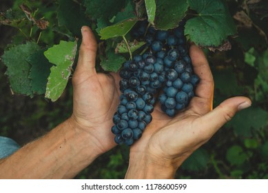 Black grapes in male hands