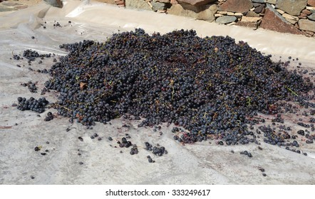 Black grapes on the floor ready to go a homemade winery to make wine