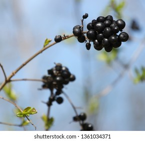 black grapes on the plant