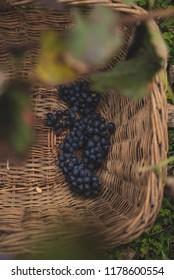 Black grapes in a wicker basket