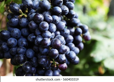 Black grapes,Grapes harvest