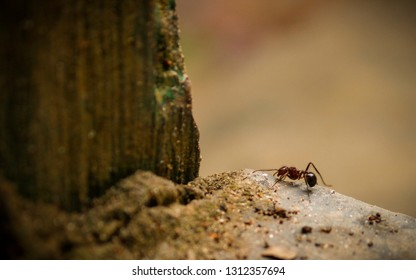 A black gravel ant (Iridomyrmex purpureus) also known as the meat ant or southern meat ant on its way hill entrance, fixed target conceptual photo.