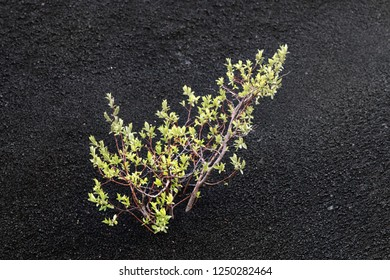 Black gravelly desert with areas of coarse sand, arid region, howling wilderness, death valley. Separate green bushes appear in depressions as a sharp contrast