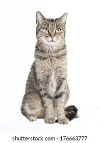 black and gray tabby cat looking at the camera, white background isolated