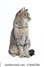 black and gray tabby cat looking to the side, white background isolated