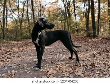 Black Great Dane Autumn Portrait