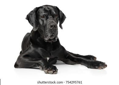 Black Great Dane dog lying on white background