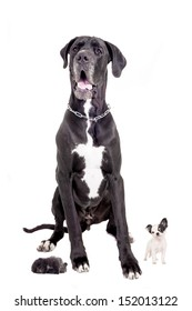 Black Great Dane with Long-haired white chihuahua puppy and Black Pomeranian puppy, on the white background