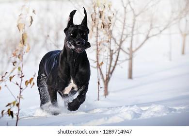 Black great dane running fast in winter field