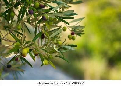 Black and green olives on a tree. Glowing in the sunlight. Summer. Vibrant warm colors. Mediterranean flair. Serra de Tramuntana. Spanish island of Mallorca (Majorca).