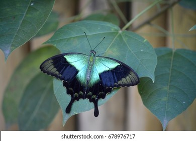A black and green winged butterfly sitting on a plant captured at the famous Butterfly Park in Bali, Indonesia