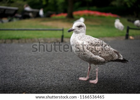 Black Grey Racing Pigeon Spotted Park Stock Photo (Edit Now