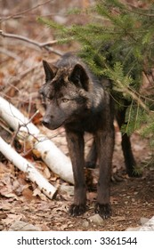Black (Grey) Wolf in Forest Hiding behind a Pine Tree