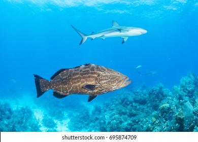 A black grouper and Caribbean reef shark enjoy the protection of a marine  park in The Bahamas