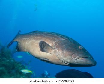 black grouper (Mycteroperca bonaci), undersea cuba