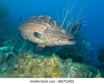 black grouper (Mycteroperca bonaci), underwater cuba
