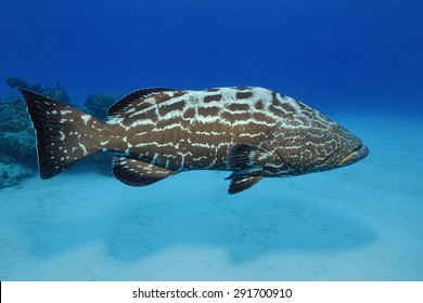 Black Grouper (Mycteropereca bonaci)
