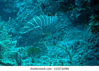 Black Grouper - Nassau