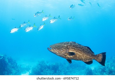 A black grouper and a school of horse eye jacks enjoy protection inside the Exuma Cays Land and Sea Park in The Bahamas