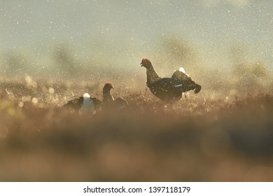 Black grouse fight in the bog