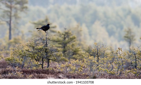 Black Grouse (Lyrurus tetyrix) watching on top of a small pine before the courtship ritual or game will begin. At dawn in the spring, the males strut around in a traditional area on the moorland.