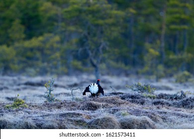 Black grouse on the pine tree forest. Nice bird Grouse, Tetrao tetrix, marshland, Norway. Spring mating season in the nature. Wildlife scene from north Europe. Black bird with red crest, white tail.