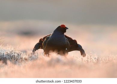 Black grouse at sunrise