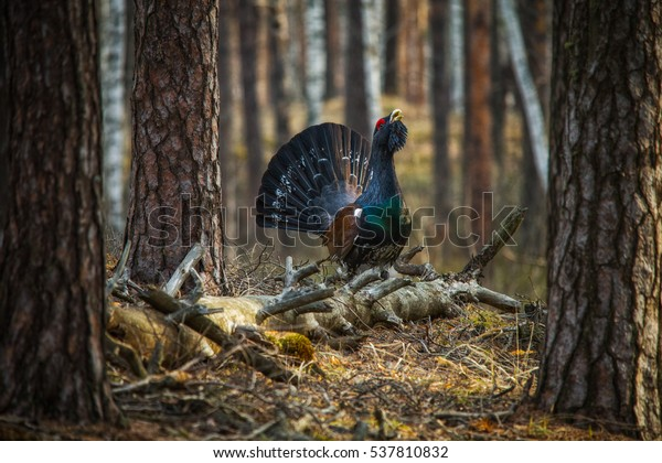 Black grouse/a male of western capercaillie. Meshchersky lowland. Russia