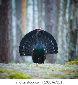 Black grouse/a male/female of western capercaillie. Meshchersky lowland. Russia