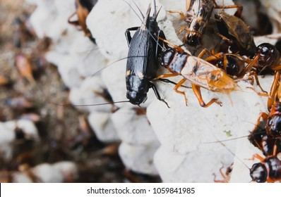 Black Gryllidae and brown Gryllidae in Thailand.