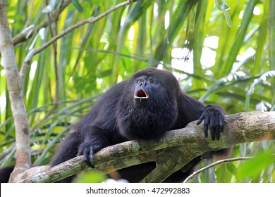 Black or Guatemalan Howler Monkey, alouatta pigra or caraya, sitting on a tree in Belize jungle and howling like crazy. They are also found in Mexico and Guatemala.