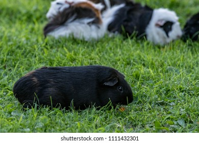 black guinea pig