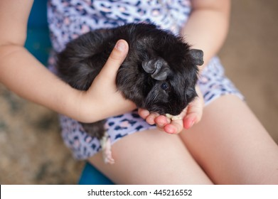 Black guinea pig eating in the hands of a child