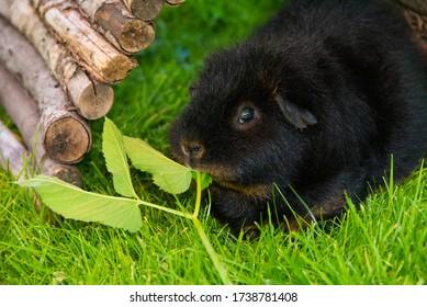 cobaye noire sur herbes à manger