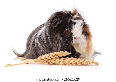 Black guinea pig with wheat stems isolated on a white background