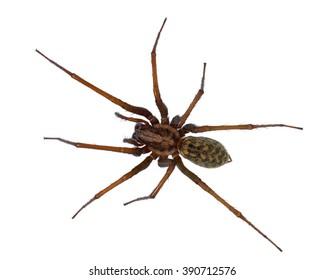 Black hairy house spider (Tegenaria domesticus) on white background