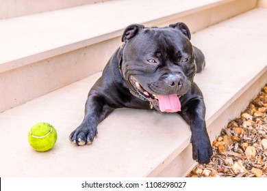 black happy relaxed staffordshire bull terrier dog lying on a step outside with his paw hanging over the edge. There is a tennis ball next to him.
