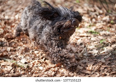 Black havanese dog running in the forest