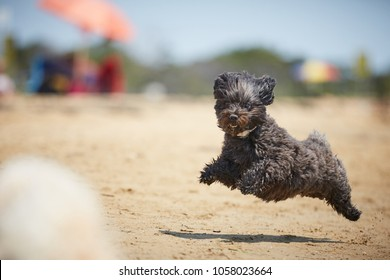 Black havanese dog running on the beach in the midday sun