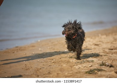 Black havanese dog running on the beach at the sea in Bibione, Italy