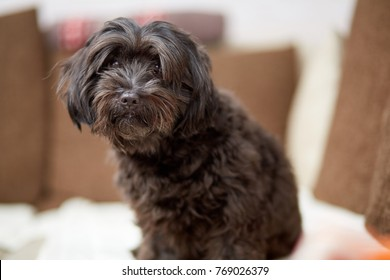 Black havanese dog sitting on couch in living room