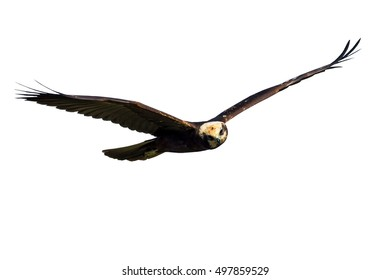 black hawk isolated on white background