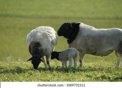 Black head sheep at the countryside of Switzerland