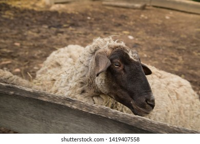 Black head of sheep in the small farm, turning the sheep's head in the pen.