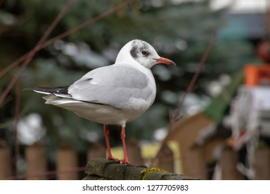 """black headed gull at the bavarian lake """"ammersee"""" in winter 2019"""