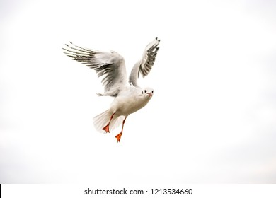 Black headed gull during a flight